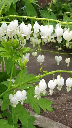 White Bleeding Heart White bleeding heart The post White Bleeding Heart appeared first on Diy Flowers. Beautiful Flowers Garden, Exotic Flowers, Pretty Flowers, Nature Plants, Flowers Nature, Garden Plants, Flower Garden Pictures, White Plants, Plant With White Flowers