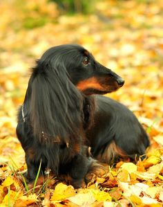 Black and tan long haired doxie