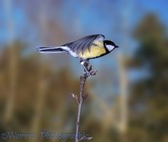 Great tit taking off from perch