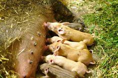 Ein eigener Eber und eigene Muttersauen garantieren ein stressfreies Aufwachsen. Animals, Growing Up, Animales, Animaux, Animal, Animais