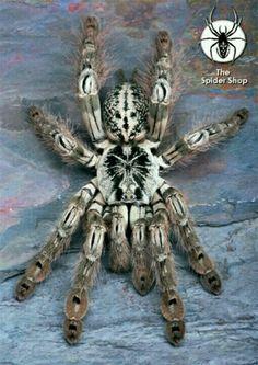 Togo Starburst Baboon Tarantula