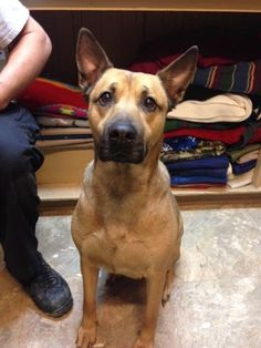 Meet Dutchess, a Petfinder adoptable German Shepherd Dog Dog   Shelbyville, IN   Dutchess is a three-and-a-half year old German Shepherd mix that was relinquished with another dog...