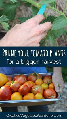 It's easy! Step-by-step instructions on how to prune your plants for more fruit.