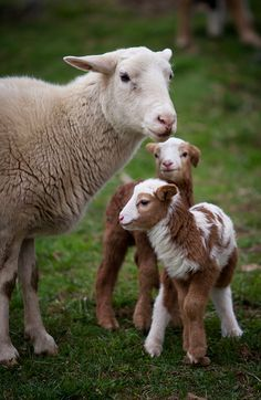 Sweet little lambs with mom