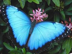 Blue Morpho Butterfly Jewelry, pictures, and trays made from butterfly wings were a huge thing in the early century. The Blue Morpho butterfly was nearly wiped out I believe as people harvested it for its wings. Fortunately, it survived. Morpho Butterfly, Butterfly Print, Blue Butterfly, Butterfly Wings, Butterfly House, Butterfly Kisses, Butterfly Wallpaper, Butterfly Jewelry, Morpho Azul