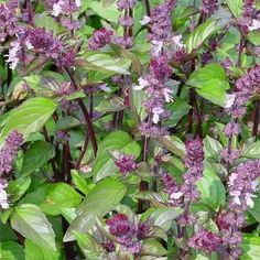 Cinnamon Basil Herb Seed/Ocimum Basilicum/Annual by MyFlowerGrounds on Etsy Herb Seeds, Garden Seeds, Cinnamon Basil, Herb Garden In Kitchen, Basil Plant, Cooking Dried Beans, Seeds For Sale, Dahlia Flower, Just Dream