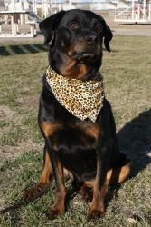 Chaco is an #adoptable Rottweiler Dog in #Hutchinson, #KANSAS. Chaco had a rough start. He was found by a very nice man who called us to see if he would fit into the Lucky Dog Progarm.  When found Chaco was ...