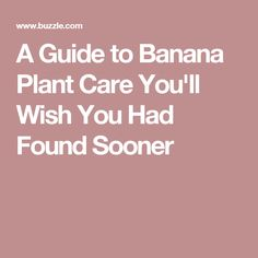 A Guide to Banana Plant Care You'll Wish You Had Found Sooner
