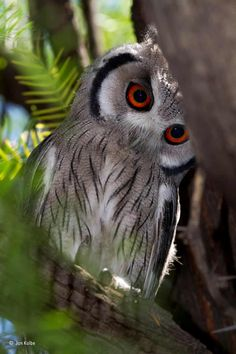 Photography by © (Jan Kolbe). Spotted this small southern whitefaced owl in a tree at a campsite in the Kgalagadi Transfrontier Park, South Africa. These owls have black-tipped 'ear' tufts and usually lay their eggs in the old nests of other birds. Beautiful Owl, Animals Beautiful, Cute Animals, Owl Photos, Owl Pictures, Owl Bird, Pretty Birds, Cute Owl, Birds Of Prey