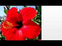 Unusual flavonoids in Hibiscus Seed Oil, such as hibiscetin, and eugenol, may be the reason Hibiscus Oil has such a broad anti-microbial effect on the skin, which means that it reduces skin irritations and inflammations, which may not respond to regular medication.  Hibiscus Oil, rich in fatty acids, improves the level of skin moisture, decreases fine lines, improves elasticity and helps skin to regenerate.