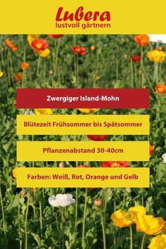 Unser zwergiger Island-Mohn ist ein Dauerblüher in den schönsten Farben und somit ein Blickfang für jeden Garten! Mehr Infos und Tipps finden sie in unserem Shop ↓  ↓  ↓ ↓  ↓  ↓ ↓  ↓  ↓ ↓  ↓  ↓ ↓  _______________________________________________________ #mohn #blüten #pflanzen #blumen #garten #dekoideen #gartengestaltung #lubera #diy #weiß #rot #gelb Island, Large Plants, News, Poppy, Shade Perennials, Yellow, Colors, Tips, Islands