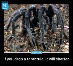 how to hold your pet tarantula