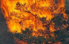 A tree erupts into flames in the Waldo Canyon fire west of Colorado Springs, on June 26, 2012. A fast-growing wildfire in Colorado forced 11,000 people from their homes at least briefly and threatened popular summer camping grounds beneath Pikes Peak. Reuters/Rick Wilking