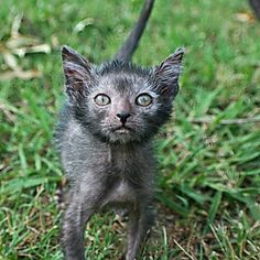 The 'Werewolf Cat' Is Everything That's Wrong With Designer Breeds | Care2 Causes