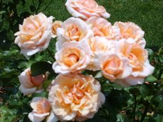 MOTHER OF PEARL....OK, the photo is blurry, but you get the idea. Loads and Loads of blooms, no disease. This and Pope John Paul II are my healthiest hybrid teas. Ridiculously Healthy Roses here in zone 4