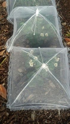 Protect strawberry plants from birds using picnic plate net covers!