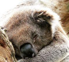 koala, Phillip Island, Victoria, Australia. Photo: PhillipIslandNP
