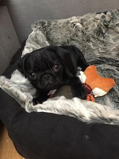 ^^Find more information on pug rescue near me. Check the webpage to get more information****** Viewing the website is worth your time. Cute Pug Puppies, Cute Pugs, Baby Puppies, Dogs And Puppies, Doggies, Animals And Pets, Cute Animals, Pug Rescue, Baby Pugs