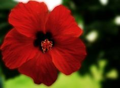 Propagating Hibiscus: Tips For Growing Hibiscus Cuttings And Hibiscus Seeds
