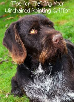 Training a Wirehaired Pointing Griffon isn't difficult if you stay consistent. The Wirehaired Pointing Griffon is a highly trainable breed. via @KaufmannsPuppy