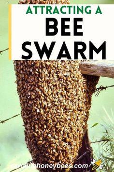 Honey Bee Swarm, Honey Bee Hives, Honey Bees, Harvesting Honey, Bee Traps, Bee Facts, Bee Hive Plans, Dragon Garden, Backyard Beekeeping