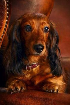 ❤️ Looks just like my beloved Fritzie!  He was so beautiful and full of gentleness and love.  Miss you, my Little Prince!