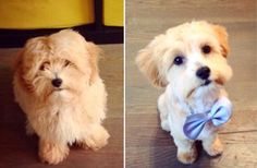 """Check Out Our , 17 Best Maltipoo Cuts Images In 294 Best """"before"""" & """"after"""" Dog Grooming S Images In 7 Best Maltipoo Haircuts Images In Havanese Grooming, Maltipoo Dog, Havanese Puppies, Baby Pomeranian, Puppy Grooming, Bulldog Puppies, Maltipoo Haircuts, Dog Haircuts, Shih Poo"""