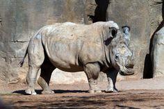 White Rhinoceros, Bioparc, Valencia