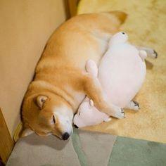 """柴犬, #Shiba Inu <3 ~lisa, """" Cuddly. ぎゅー (≧▽≦) 冷えるからね、ぎゅー xoxo""""  ...it's so cold tonight, Good night from Tokyo :)"""