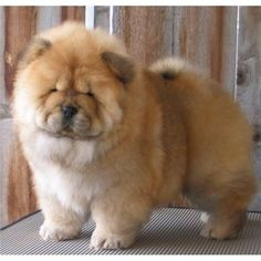 chow chow- This is probably my second favorite dog ever. First is a lab, but a lab chow mix oh heaven.