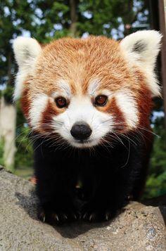 5_Red panda mum Rufina at Longleat PIC Ian Turner