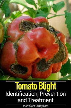 Tomato Blight: Identification Prevention and Treatment - Tomato Blight caused by fungus spreads through tomato foliage often during wet weather farmers face devastating destruction from blight [DETAILS] Growing Plants, Growing Vegetables, Gardening Vegetables, Gardening For Beginners, Gardening Tips, Balcony Gardening, Kitchen Gardening, Garden Soil, Plant Diseases
