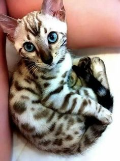 Meowser adorable pets bengal kitten, egyptian mau и animals Pretty Cats, Beautiful Cats, Animals Beautiful, Pretty Kitty, Lovely Eyes, Amazing Eyes, Stunning Eyes, Hello Beautiful, Beautiful Soul