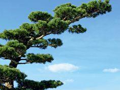 Tailler ses arbres en nuage le pinus pentaphylla garden pinterest chr - Tailler un olivier en nuage ...