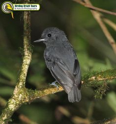 Plumbeous Antvireo male (endemic and Vulnerable in IUCN Red List)Birding Brazil Tours | Caatinga