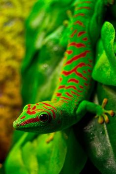 colorful gecko :) Do not like lizards as a rule but this little fellow is wearing a dapper looking suit.