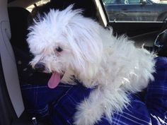 Found Dog - Maltese in CENTRAL ISLIP, NY     	 Pet Name:	Unknown   (ID# 81941) Gender:	Male Breed:	Maltese Breed 2:	Poodle Color:	White Pet Size:	Small (10-19lbs) Pet Age:	2-4 years Date Found:	01/23/2015 Zip Code:	11722 (CENTRAL ISLIP, NY) See All Found Dogs In CENTRAL ISLIP, NY