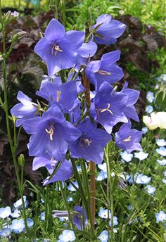 Campanula persicifolia 'Telham Beauty'  3' x 2', spring to summer end