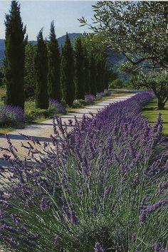 Cyprès et Lavande, by Vita #cypres #lavender #plantes #aromatherapy