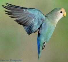 Peach-faced Love Bird in flight. (Inseparable de Namibia, Agapornis roseicollis)