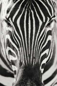 The zebra is one of my favourite wild animals, running a close first to the giraffe!  w.