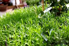 Munstead - Purple flowers in Summer. Compact and scented. Ideal low hedge, evergreen and loves full sun position. Trim after flowering. Lavandula, Colorful Garden, Hedges, Purple Flowers, Pavilion, Garden Furniture, Evergreen, Compact, Sun