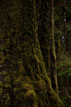 moss on giant sitkas | nature photography