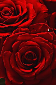 Red roses... @rt&misi@.