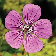 Rosetta Hardy Geranium. (P.P.19109)-Plant in combination with 'Rozanne' for a long-lasting color explosion. This hardy geranium is similar to Rozanne in that it has an extremely long flowering time. The plant is covered with lavender-pink, 2 inch blossoms from early summer until frost. Grows 16 inches tall and forms a nice mounded clump that can spread up to 2 feet wide. Perfect in containers or garden borders.