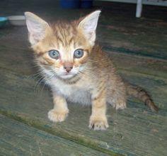Adorable, tiny teacup kitten Amphibians, Reptiles, Teacup Kitten, Kitten For Sale, Cats And Kittens, Friends, Animals, Heart, Amigos