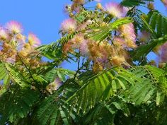 Albizia julibrissin (Silktree or Persian silk tree), is a perennial tree shrub from the fabaceae family. It is only recently that scientist discovered that the extract of Albizia julibrissin flowers exerted anti-obesity properties by inhibiting adipogenesis [1], the process by which our organisms generate fat cells.