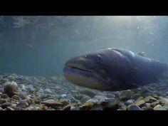 DELTA DUNARII Documentar - YouTube Fish, Youtube, Artist, Movies, Animals, Musica, Animales, Films, Animaux