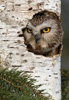 Owl in Tree Trunk