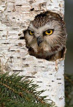 Owl in Tree Trunk